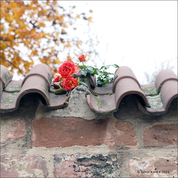 rosen im november • © sylvia • sro 2015