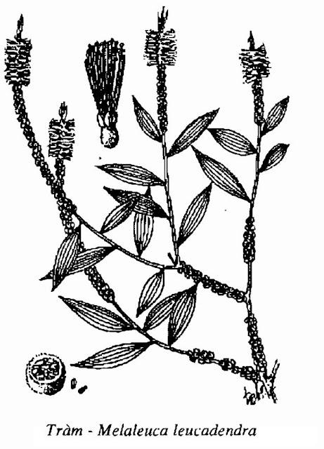 Hình vẽ TRÀM VÀ TINH DẦU TRÀM - Melaleuca leucadendra - Nguyên liệu làm thuốc Chữa Ho Hen