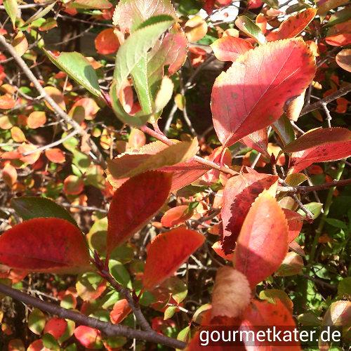 Herbstlaub Aronia