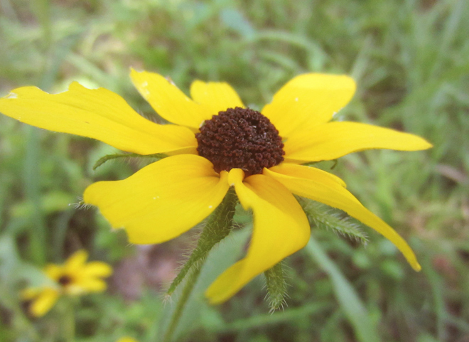 The Flying Clubhouse - Black-Eyed Susan