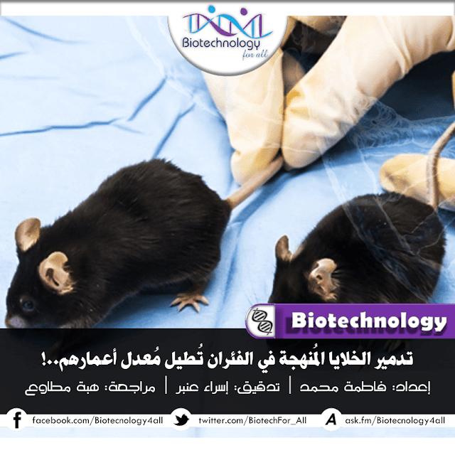 تدميرالخلايا المنهكة في الفئران يجعلها تعيش لفترة أطول