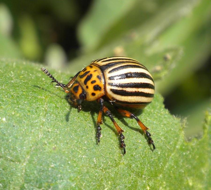 remedios escarabajo