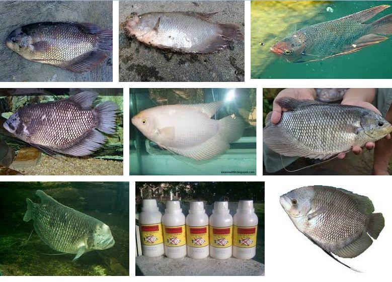 Penyakit Ikan Gurame