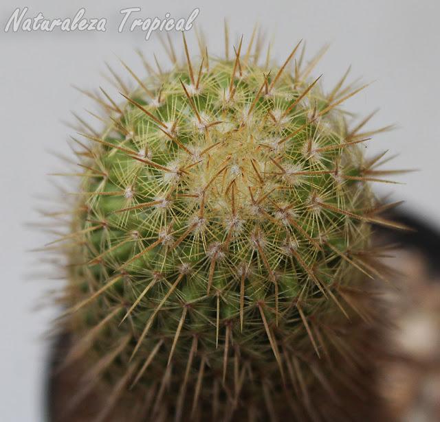 Vista del ápice del tallo del cactus Mammillaria eriacantha