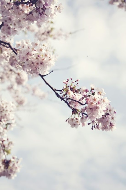 Magnificent spring cherry blossoms in bloom with pink