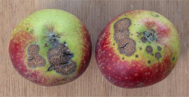 apple%2Bscab.jpg