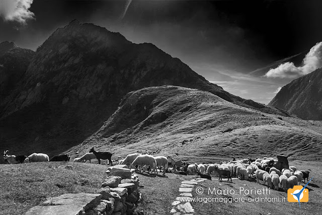 Alpe Selle, pecore