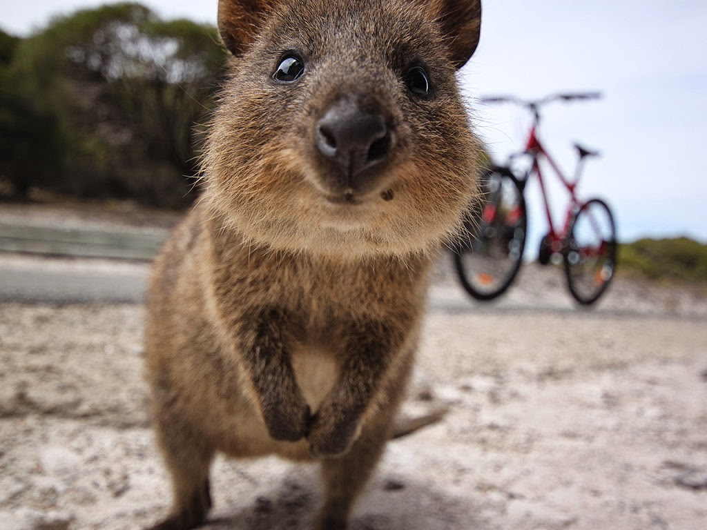 The gallery for --> Quokka Wallpaper