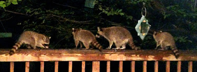 Raccoon family dropping by at night