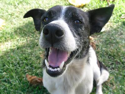 Repelente de pulgas caseiros de cães