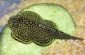 cá tỳ bà bướm trong hồ thủy sinh