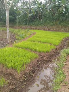 Persemaian tanaman padi yang benar