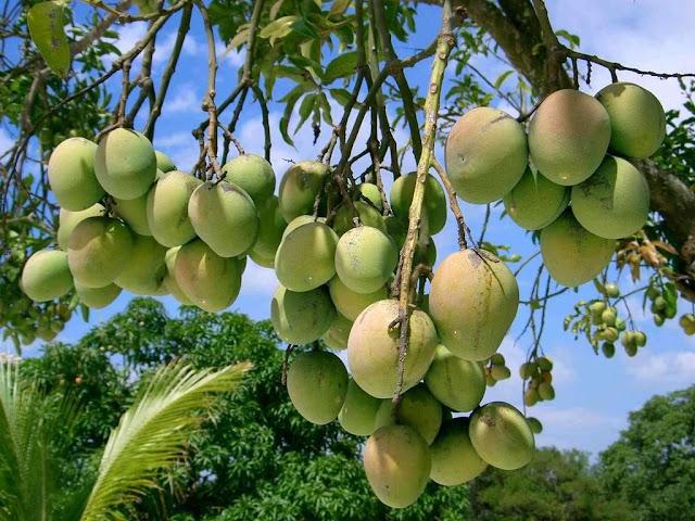 कच्चे आम के फायदे - kacche Aam ke fayde