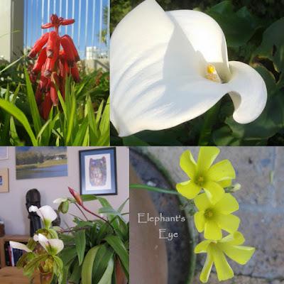 Lachenalia, Zantedeschia slipper orchid, Oxalis