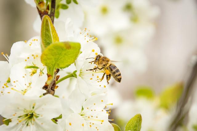 pestycydy pszczoły