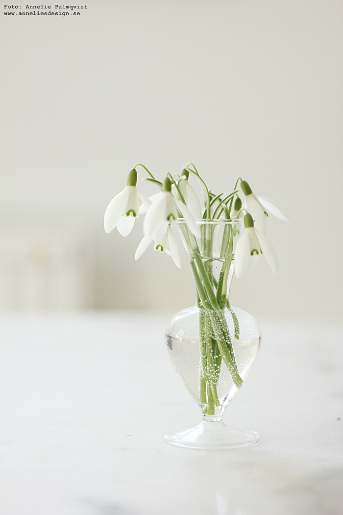 snödroppe, snödroppar, vår, vårblomma, blomma,