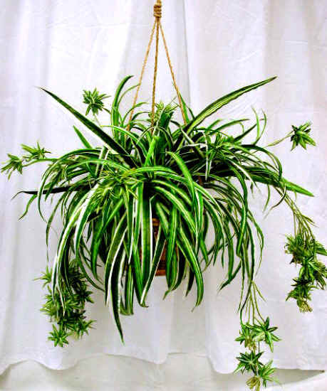 Growing A Spider Plant: Tyler Greener Living: Spider Plants (Chlorophytum)