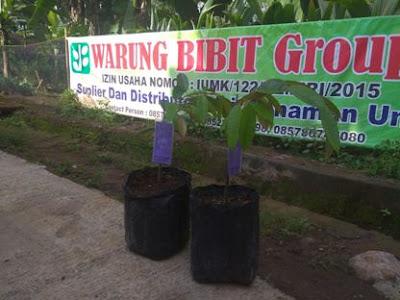 Bibit Durian Montong Kromo Banyumas Berlabel