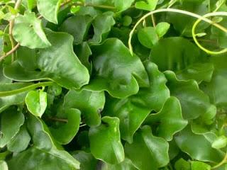 daun binahong untuk kenari