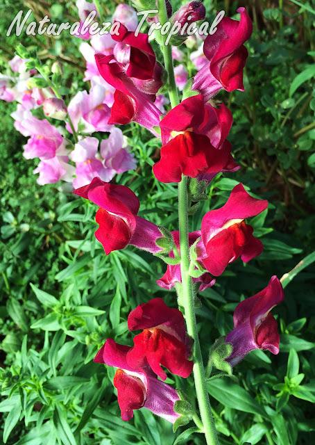 Variedad roja de las flores de la planta Boca de Dragón, Antirrhinum majus
