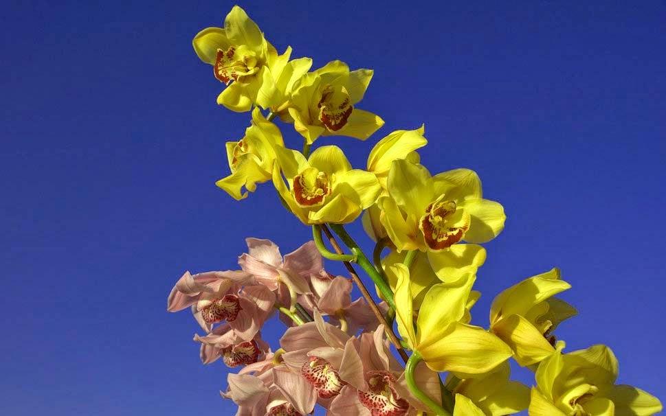 orchids-yellow-pink-widescreen-wallpaper