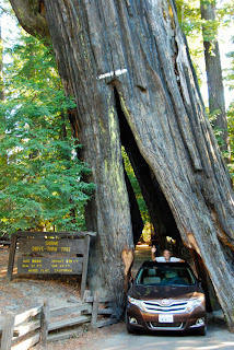 Wayne Dunlap Driving Through Chandelier Tree Myer Flats Avenue of the Giants toyota venza