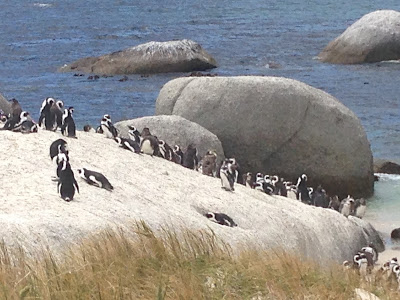 penguin beach, many penguins, penguin viewing, nature picture