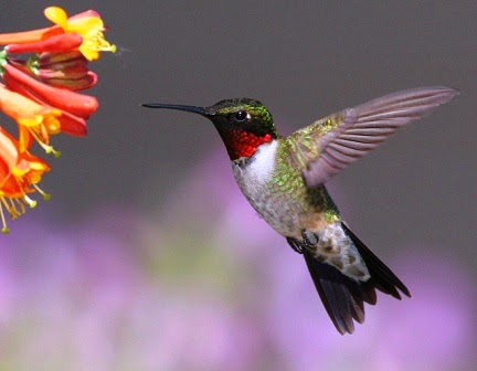 Salah satu jenis hummingbird : ruby-throated