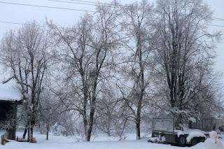 Frozen tea trees from the freezing fog overnight