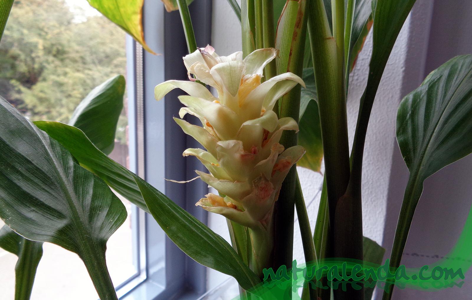la flor del jengibre