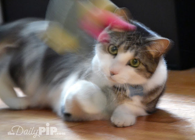 Adopting a cat with FIV Friends of Chicago Animal Care and Control