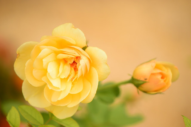 rose Graham Thomas, David Austin roses, small sunny garden, amy myers photography, desert garden