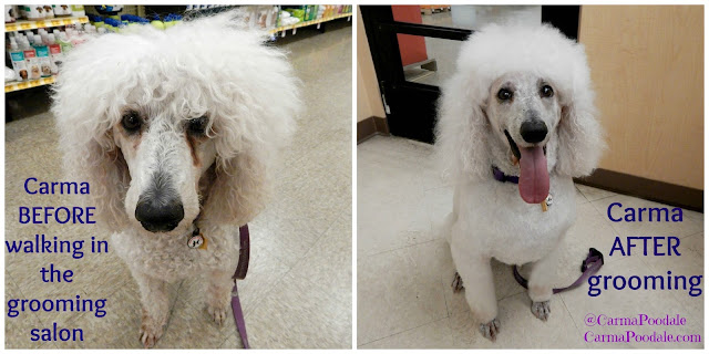 Carma with flat floof before and Beautiful white after Petsmart Grooming session