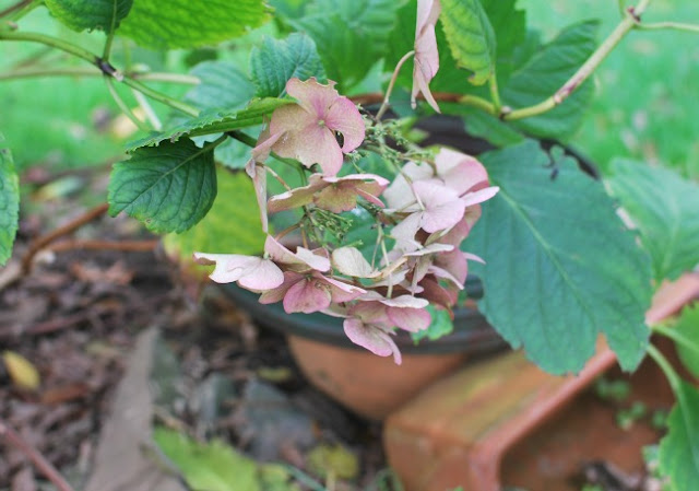 picture of faded hydrangea and discarded clay pots