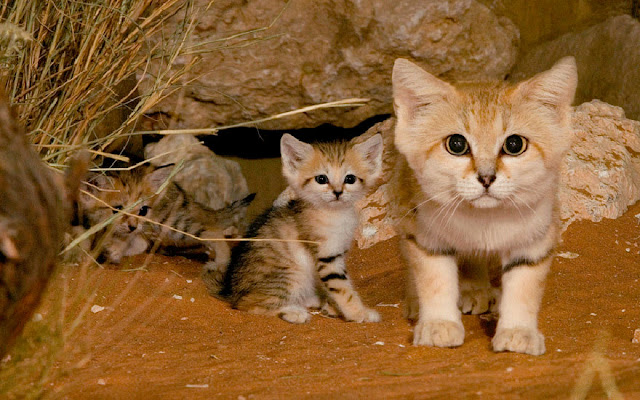 #2 Sand Cat (Felis Margarita)