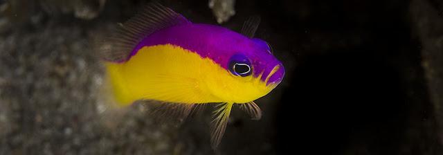 Gambar Ikan Dottyback - Budidaya Ikan