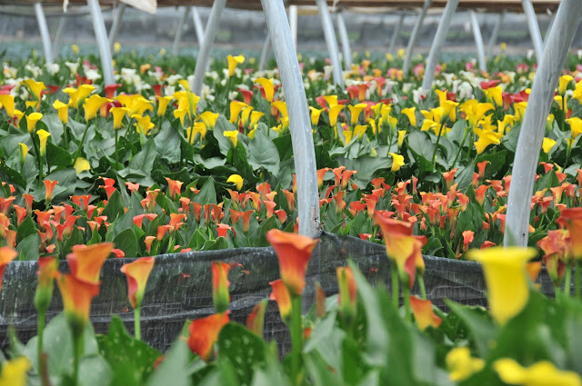 z-calla lilies growing in hoops