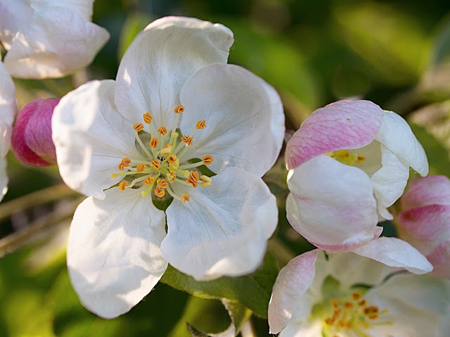 Apple blossom in close up