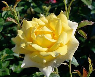 Berolina сорт розы фото купить саженцы в Минске