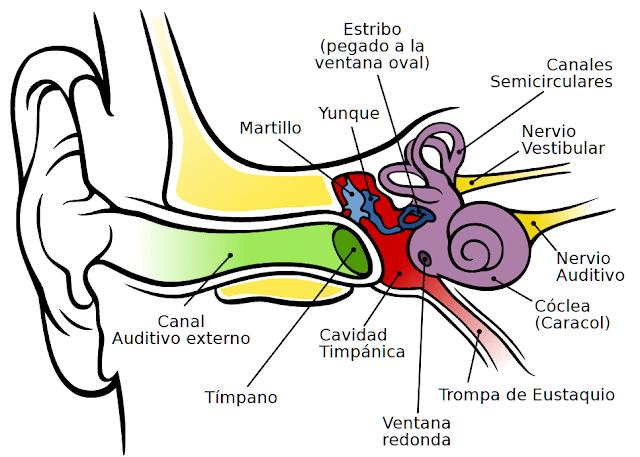 anatomia oido, otoscopia