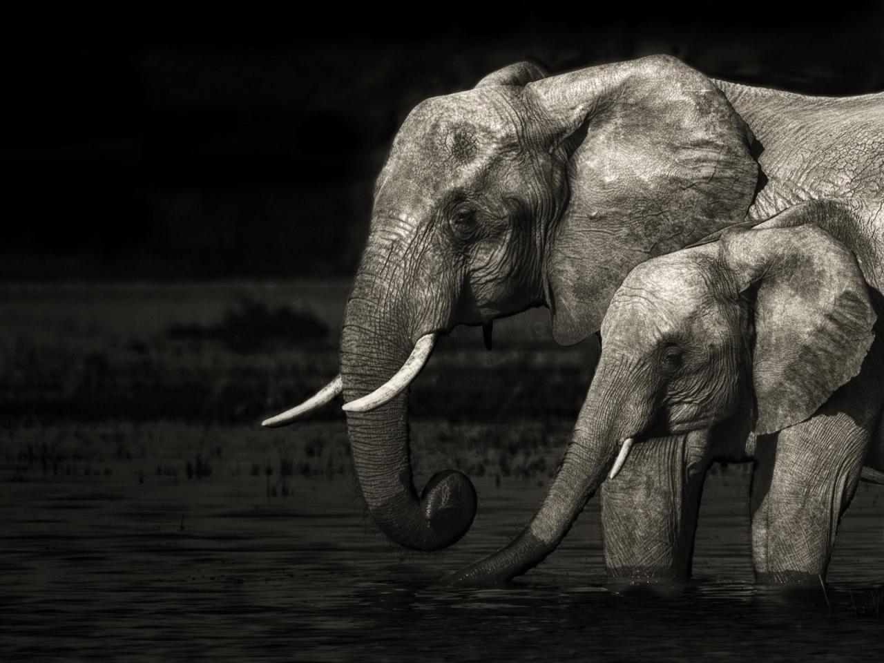 Fond d'écran éléphant noir et blanc - Fonds d'écran HD