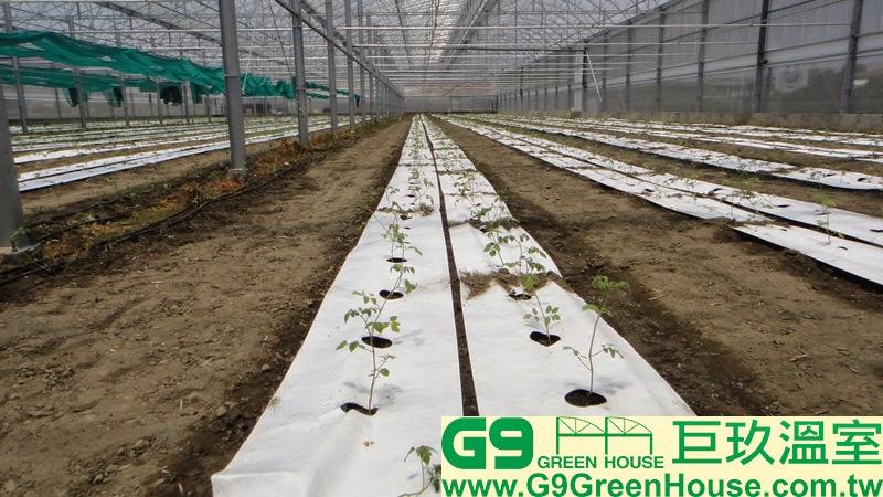 38.圓鋸鋼骨加強型溫室結構內部種植夏季小番茄幼苗外觀