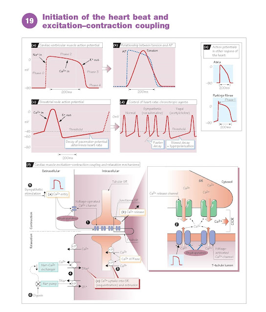 Initiation Of The Heart Beat And Excitation–Contraction  Coupling