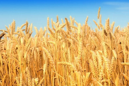 Why wheat is suddenly bad for us now