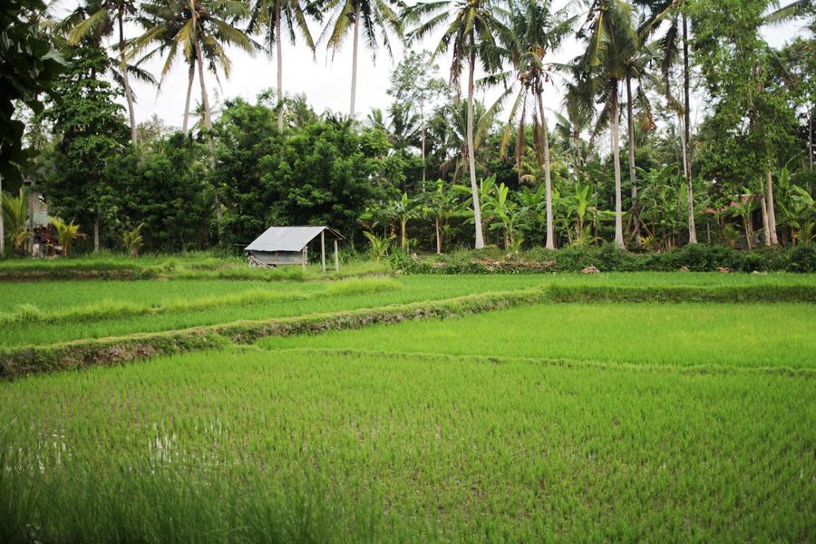 ricefields bali ubud