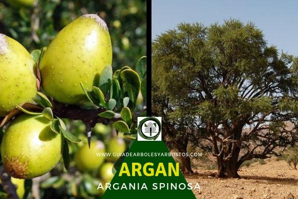 El Argán, Argania spinosa, árbol mítico conocido como el Padre de Todos