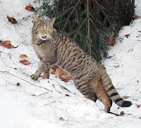 Kar üzerinde bir yaban kedisi