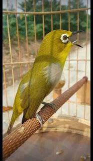 Perawatan Burung Pleci - Macam-Macam Buah Untuk Burung Pleci dan Kandunganya
