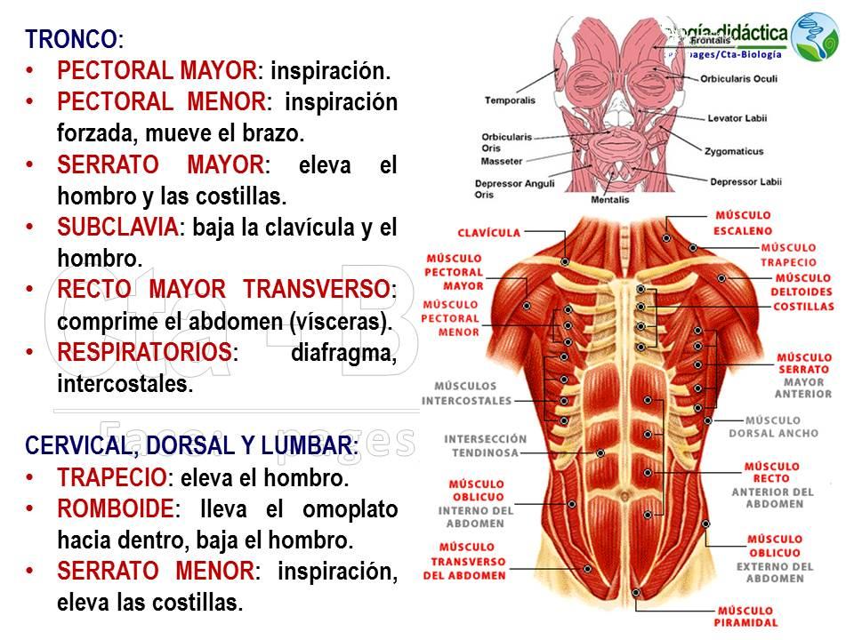 Asombroso Diagrama De La Anatomía Trapecio Patrón - Imágenes de ...