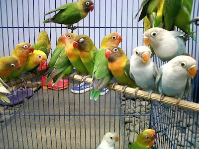 Tips  Beternak Burung Lovebird Agar Cepat Bertelur dan Menghasilkan
